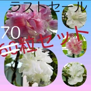 八重咲きのアサガオの種 60粒+10粒増量セット(白&ピンクMIX)(その他)