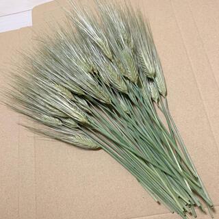 ドライフラワー 麦の穂 茎付き 花材 インテリア スワッグ(ドライフラワー)