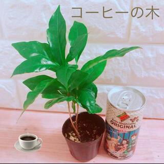コーヒーの木 苗 ポットごと(その他)