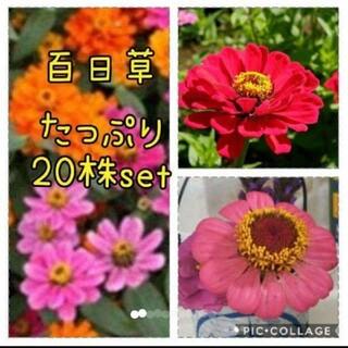 百日草  花苗 20本 セット(その他)