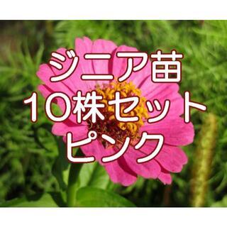 百日草(ジニア)の苗  10本セット(ピンク)(野菜)