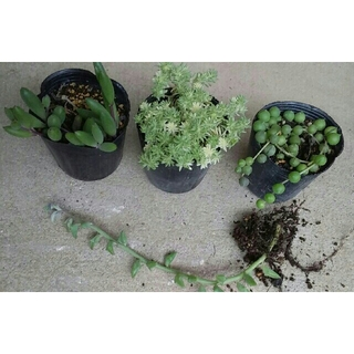 多肉植物 4種 ルビー・グリーン・ドルフィンネックレス・ミルクージ セダム付  (その他)