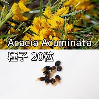 Acacia Acuminataの種子20粒(その他)