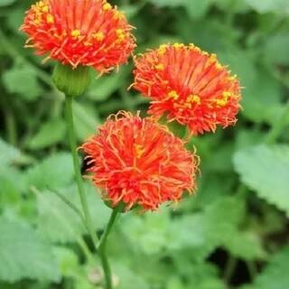 花種 カカリア(その他)