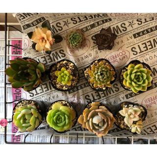 12.yuka様専用❣️ 第3回🎉韓国多肉植物❣️画像、バースデーお返し❣️(その他)