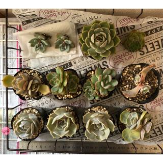 20.momoyu様❣️ 第3回🎉韓国多肉植物❣️画像、バースデーお返し❣️(その他)