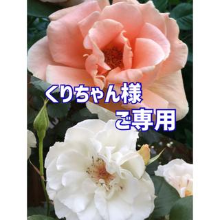 ♥️くりちゃん様ご専用♥️バラ苗 中苗2品種(その他)