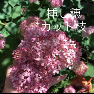 (ᵔᴥᵔ)アナベルピンク 挿し穂 枝 2本 可愛いお庭に♡(ドライフラワー)