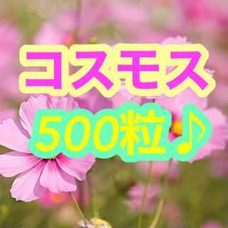 【今がまきどき】コスモス 500粒以上!(大容量でお届けします♪)(その他)