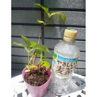 bourbon-mam様ご確認用 紫陽花 アジサイ ピンク→紫色 根付き苗(その他)