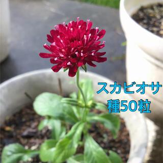 スカビオサ 種 50粒(その他)