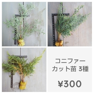 コニファー カット苗『ブルーアイス』他×2 合計3セット ¥300(その他)
