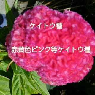赤ピンク黄色等のケイトウ種(その他)