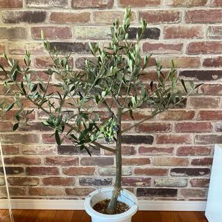 観葉植物 創樹(SOUJU)  幹太 オリーブの木 7号 ルッカ6(その他)