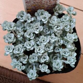 多肉植物 ケープブランコ 白雪ミセバヤカット(その他)