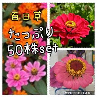 タイムセール 百日草  花苗 50本 セット(その他)