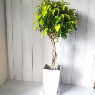 ①ベンジャミン*レジナルドねじり❗️黄緑鮮やか❗️見かけない観葉植物❗️受皿付(プランター)