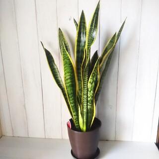 ②サンスベリア*観葉植物‼️鉢ごと発送❗️マイナスイオン効果‼️樹形綺麗‼️(プランター)