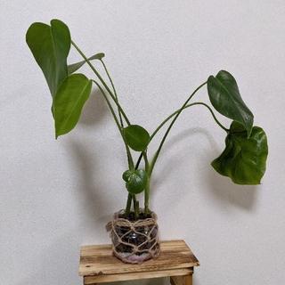 モンステラ ハイドロカルチャー 観葉植物(ドライフラワー)