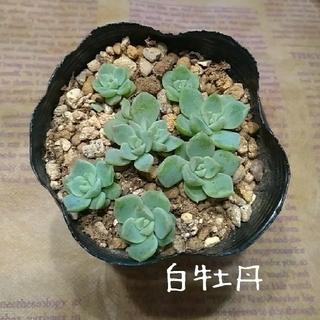 多肉植物【白牡丹】抜き苗(その他)