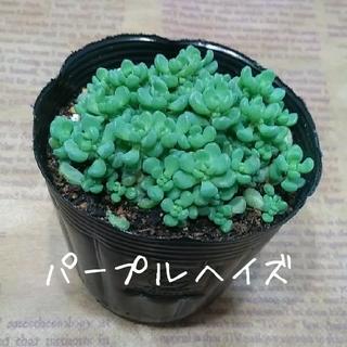 多肉植物 セダム属【パープルヘイズ】抜き苗(その他)