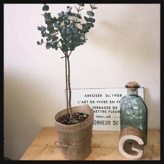 残りわずか♡流通少なめ♡ユーカリアーニゲラ♡3.5号♡麻布鉢に植え替え済みです♡(その他)