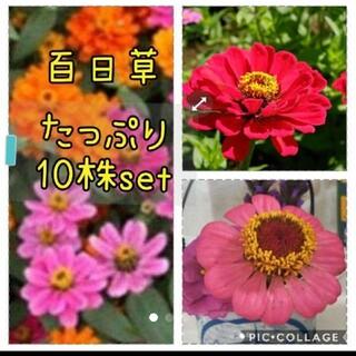 百日草  花苗 10本 セット(その他)