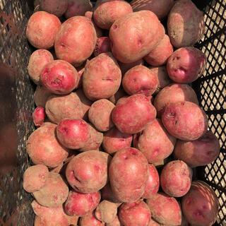 じゃがいも アンデスレッド とれたて 佐賀県産 無農薬 レターパックプラス(野菜)