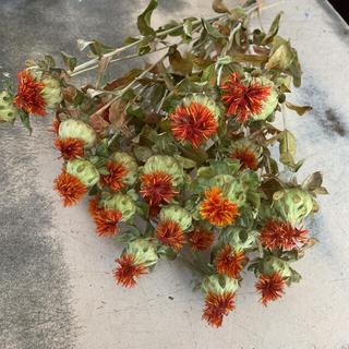 大特価紅花ドライフラワー(ドライフラワー)