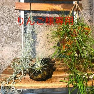 ホヤ レツーサ ハンギング プランター セット② 観葉植物(プランター)