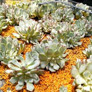 韓国苗 エケベリア ブラックザラゴーサ 群生 多肉植物(その他)