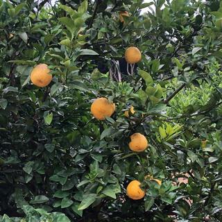 木成りジューシーオレンジ7キロ(フルーツ)
