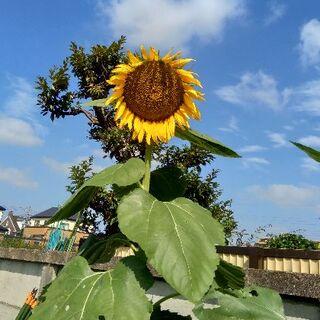 向日葵の種(ロシアヒマワリ優性+劣等種。2020年10月採種)40グラム(その他)
