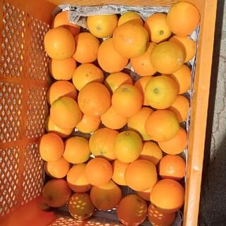 和歌山県産 バレンシアオレンジ(フルーツ)