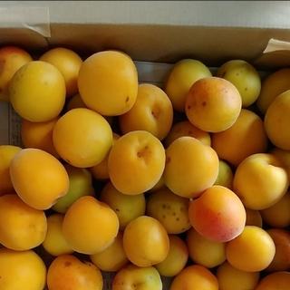 無農薬 南高梅 1.5キロ(野菜)