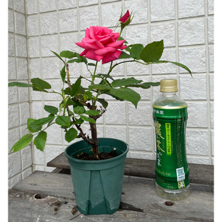 ピンクのバラ 超大輪(その他)
