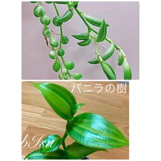 多肉植物 斑入りグリーンネックレス 3種類 カット苗(プランター)