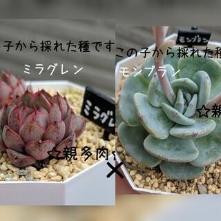 多肉植物 種子 自家採種 4種(その他)