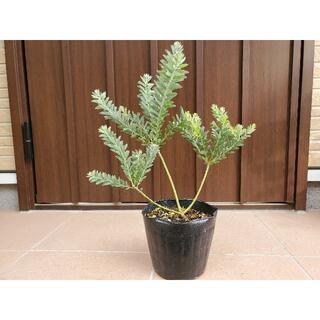 大きめ♪アカシアブルーブッシュ ポット苗4 観葉植物 シンボルツリーに♪(プランター)