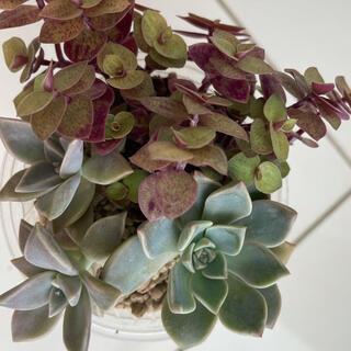 多肉植物3種 カリシアロザート  ピンクプリティ  霜の朝 抜き苗(その他)