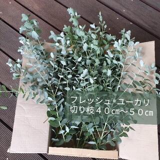 フレッシュユーカリ 切り枝 長尺40-50cm(ドライフラワー)