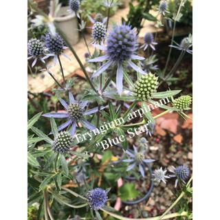 エリンジュームアルピナムブルースター(宿根草)40粒 オランダ種子(その他)