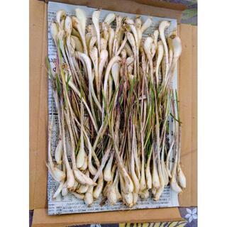 沖縄本島産 島らっきょうの種苗 100本(野菜)