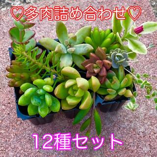 多肉植物♡カット苗詰め合わせ♡12種セット‼️(その他)