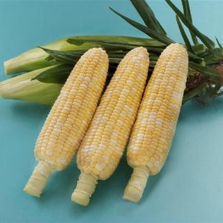 最終6/21収穫、とうもろこし10本白黄色バイカラー(野菜)