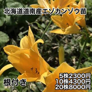 北海道 道南産 エゾカンゾウの苗 5株(野菜)