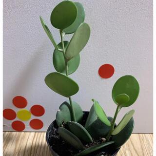 観葉植物★グリーンドラム★根付き★🔴