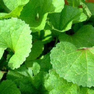 自然農無農薬おかのりの種150粒以上⭐️(野菜)