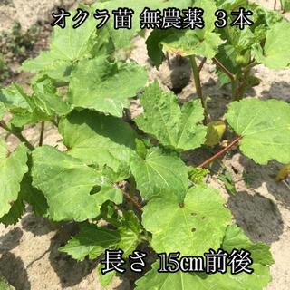 オクラ 苗 3本 野菜 無農薬(野菜)