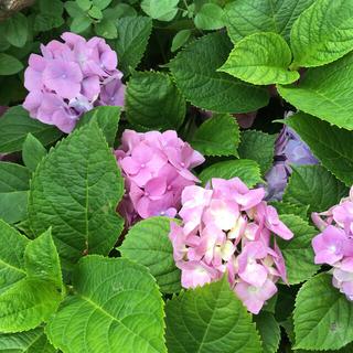 紫陽花 ピンク 紫 挿し穂 4本(その他)